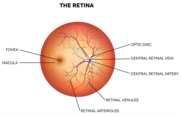 Optical Eyelusions | The Retina